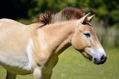 Przewalski horse walking stock images