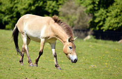 Przewalski horse walking Stock Photography