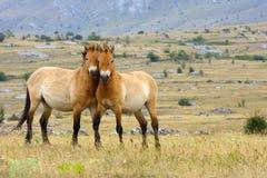 Przewalski horses Royalty Free Stock Images