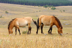 Przewalski horses Stock Photos
