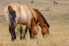 Przewalski horses royalty free stock image