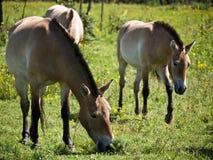 Przewalski-horses Stock Image