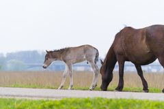 Przewalski horses with foal Royalty Free Stock Images