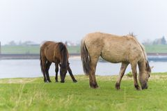 Przewalski horses in a nature park Royalty Free Stock Photo