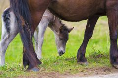 Young przewalski horse foal Stock Photo