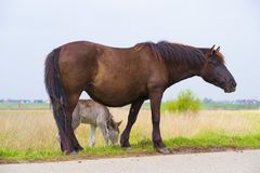 Przewalski horses with foal Royalty Free Stock Photo