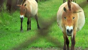 Przewalski horses grazing behind the grid stock footage