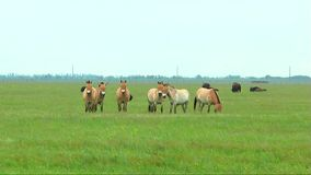 Przewalski horses grazing in the desert in the spring grass stock video footage