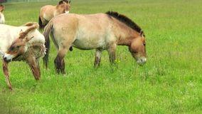 Przewalski horses grazing in the steppes stock video