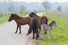 Przewalski horses in a nature park Royalty Free Stock Image