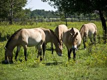 Przewalski-horses-pasture Royalty Free Stock Images