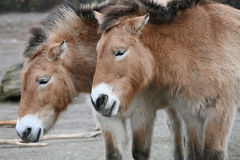 Przewalski Horses. Two Przewalski's horses (Equus ferus przewalskii royalty free stock photo