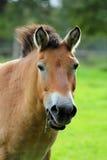 Przewalski koń Takhi, Azjatycki dziki koń lub Mongolski dziki koń dzwoniący, także, jest jedynymi pododmianami dziki koń który Zdjęcie Stock