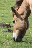 Przewalski koń Takhi, Azjatycki dziki koń lub Mongolski dziki koń dzwoniący, także, jest jedynymi pododmianami dziki koń który Obrazy Stock
