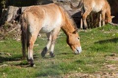 Przewalski koń Takhi, Azjatycki dziki koń lub Mongolski dziki koń dzwoniący, także, jest jedynymi pododmianami dziki koń który Fotografia Stock