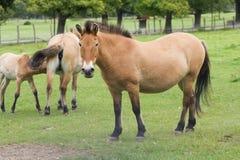 Przewalski koń Takhi, Azjatycki dziki koń lub Mongolski dziki koń dzwoniący, także, jest jedynymi pododmianami dziki koń który Obrazy Royalty Free