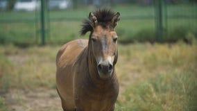 Przewalski konia portret zbiory wideo