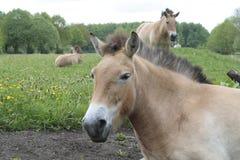 Przewalski konie w naturze Lelystad Obraz Royalty Free
