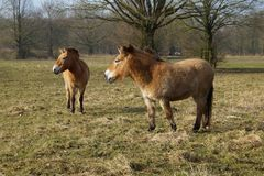 Przewalski konie w polu Obraz Stock