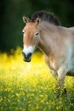 Przewalski-Pferd auf einer reizenden Wiese Stockbild