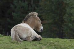 Przewalski-Pferd, das auf Gras als Porträt oder mit Hintergrund, Erwachsenen und Jugendlichem weiden lässt Lizenzfreies Stockbild