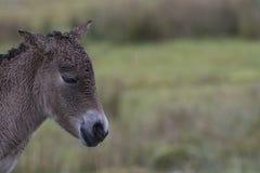Przewalski-Pferd, das auf Gras als Porträt oder mit Hintergrund, Erwachsenen und Jugendlichem weiden lässt Lizenzfreie Stockbilder