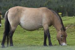 Przewalski-Pferd, das auf Gras als Porträt oder mit Hintergrund, Erwachsenen und Jugendlichem weiden lässt stockfotografie