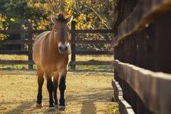 Przewalski ` s马在动物园秋天,正面图 免版税库存图片