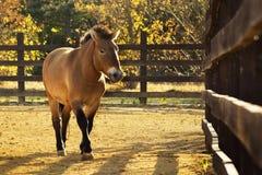 Przewalski ` s马在动物园里 库存照片