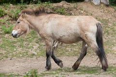 Przewalski ` s Equus ferus koński przewalskii obrazy stock