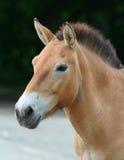 Przewalski´s horse. (Equus przewalskii)portrait Stock Photography