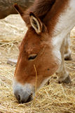 Przewalski's Horse. Detail of head of grazing Przewalski's Horse royalty free stock photos