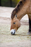 Przewalski's Horse Royalty Free Stock Photography