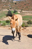 Przewalski's Horse. A single close up of an Asiatic wild horse Stock Photos