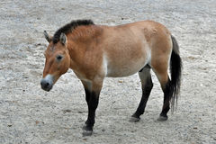 Przewalski's Horse. Standing in a zoo Royalty Free Stock Photos