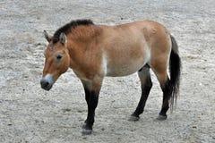 Przewalski's Horse Royalty Free Stock Photos