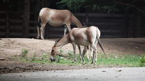Przewalski's Horse Royalty Free Stock Photo