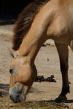 Przewalski's horse. (Equus przewalskii) eating, neck and head Royalty Free Stock Photos