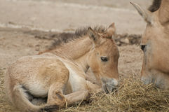 Przewalski's horse. Is a rare and endangered subspecies of wild horse Royalty Free Stock Image