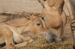 Przewalski's horse. Is a rare and endangered subspecies of wild horse Royalty Free Stock Photography
