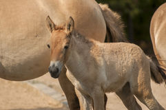 Przewalski's horse. Is a rare and endangered subspecies of wild horse Royalty Free Stock Photo