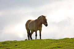 PRZEWALSKI'S HORSE stock image