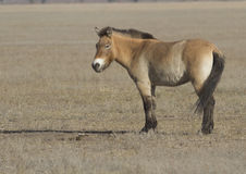 Przewalski's horse in the autumn steppe. Stock Image