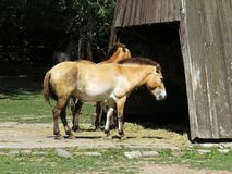 Przewalski`s horse or so called Mongolian Wild Horse in Front of Wooden Structure stock photos