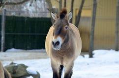 Przewalski's Horse Stock Photos