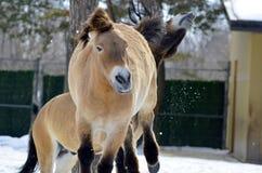 Przewalski's Horse Royalty Free Stock Image