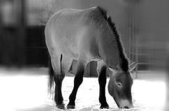 Przewalski's Horse Royalty Free Stock Photography