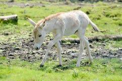 Przewalski's Horse Royalty Free Stock Images