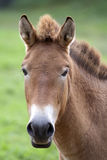 Przewalski's Horse (Equus ferus przewalskii). Przewalski's (or Dzungarian) horse is a rare and endangered subspecies of wild horse native to the steppes of royalty free stock photo