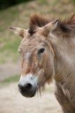 Przewalski`s horse Equus ferus przewalskii Stock Images